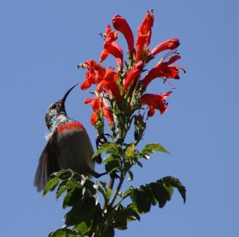 Picture courtesy Wilferd Duckitt - Lesser Double-Collard Sunbird in Tecomaria capensis - See his flickr page.