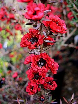 Leptospermum 'Burgundy Queen'