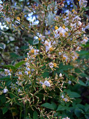 Nandina has panicles of white flowers with showy yellow stamens
