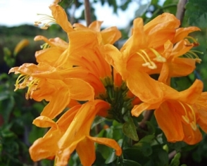 Tecomaria capensis 'Apricot' Picture courtesy www.newplant.co.za