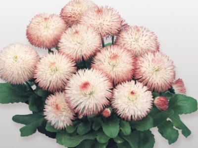Bellis Habanera. Picture courtesy www.nuleaf.co.za