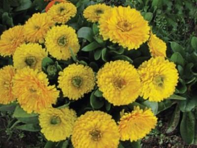 Calendula 'Yellow' Picture courtesy www.nuleaf.co.za