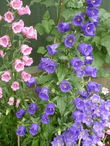 Canterbury Bells. Picture courtesy Ann Songhurst