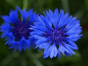 Cornflower. Picture courtesy Stig Madsen