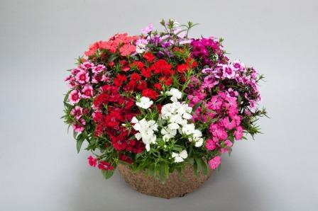 Dianthus 'Diamond Mix' Picture courtesy www.ballstraathof.co.za