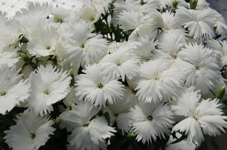 Dianthus 'Diana White' Picture courtesy www.ballstraathof.co.za