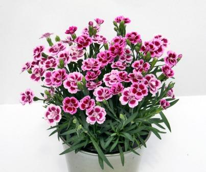 Dianthus 'Pink Kisses' Picture courtesy www.ballstraathof.co.za