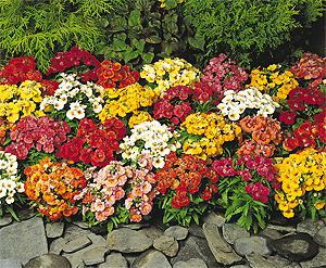 Sundrops mix Nemesia. Picture courtesy Ball Horticultural Company