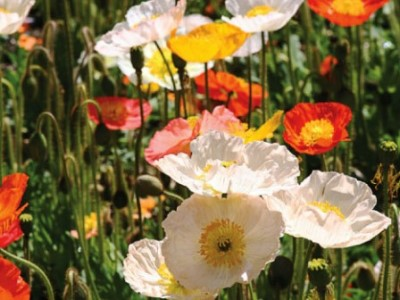 Iceland Poppies. Picture courtesy www.nuleaf.co.za
