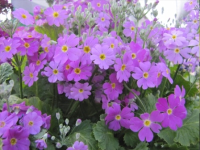 Primula malacoides. Picture courtesy www.nuleaf.co.za