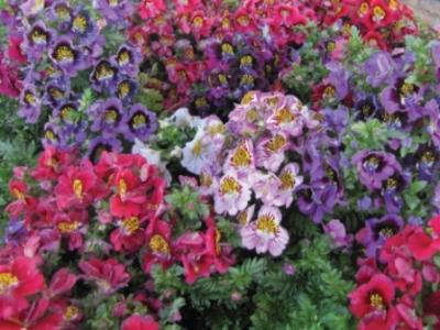 Schizanthus. Picture courtesy www.nuleaf.co.za