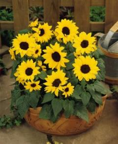 Sunflower 'Ballad'. Picture courtesy Ball Horticultural Company