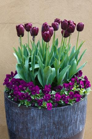 Tulips & Violas grow beautifully in pots