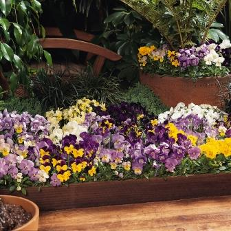 Viola 'Sorbet Series' Picture courtesy Ball Horticultural Company