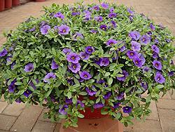 Calibrachoa 'Violet'