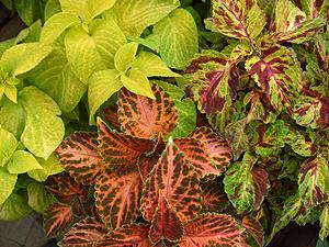 Coleus mixed