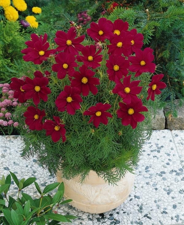 Sonata Carmine Cosmos. Picture courtesy Ball Horticultural Company