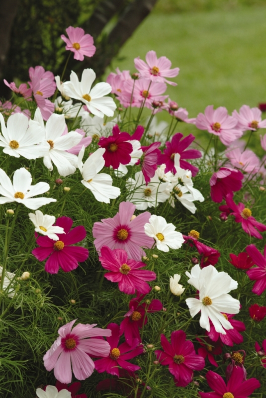 Sonata Mix Cosmos. Picture courtesy Ball Horticultural Company