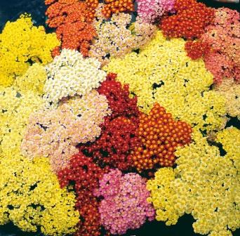 Achillea' Summer Pastels' mix. Picture courtesy www.ballstraathof.co.za