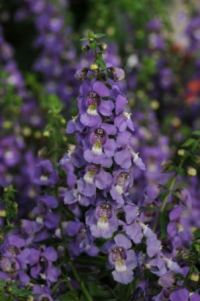 Angelonia 'Serena Blue' Picture courtesy Ball Straathof