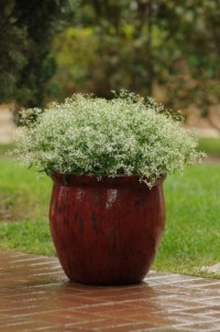 Euphorbia 'Glitz' is perfect in containers. Picture courtesy www.ballstraathof.co.za