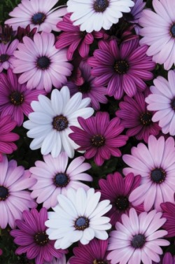 Osteospermum Akila 'Mixed' Picture courtesy www.ballstraathof.co.za