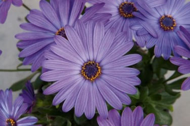 Osteospermum Flowerpower 'Blue' Picture courtesy www.ballstraathof.co.za