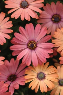 Osteospermum Serenity 'Rose Magic' Picture courtesy www.ballstraathof.co.za