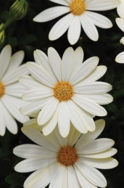 Osteospermum Voltage White. Picture courtesy www.ballstraathof.co.za