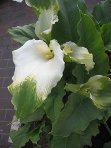 Zantedeschia 'Green Goddess' Picture courtesy www.newplant.co.za