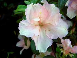 Rhododendron 'Little Girl'
