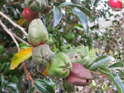 Diospyros whyteana fruit & pods. Picture courtesy Malcolm Manners - see his flickr page