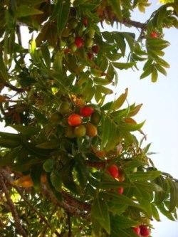 Ekebergia capensis fruit. Picture courtesy www.newplant.co.za