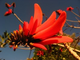 Erythrina caffra Picture courtesy www.newplant.co.za