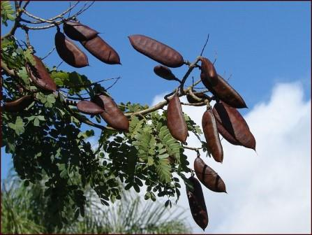 Leopard Tree Fruits - Picture courtesy Tatters - see her flickr page