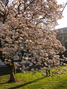 Magnolia soulangeana. Picture courtesy Karl Gercens - see his flickr page