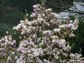 Magnolia soulangeana. Picture courtesy Peter Richardson