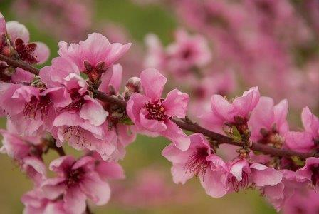 Peach blossoms - Image by jaqueline macou from Pixabay