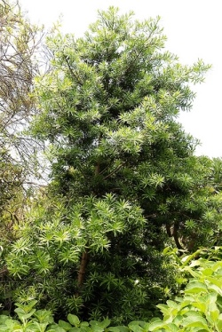 Podocarpus latifolius Picture courtesy www.kazimingi.co.za