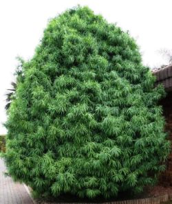 Henkel's Yellowwood