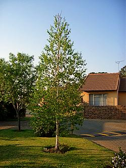 Suitable trees for small gardens for Silver birch trees for small gardens