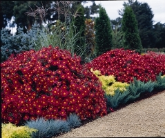 Mammoth Red Daisy (Chrysanthemum) Picture Courtesy Ball Horticultural Company