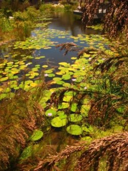 Pestios and water lilies.  Picture courtesy www.newplant.co.za