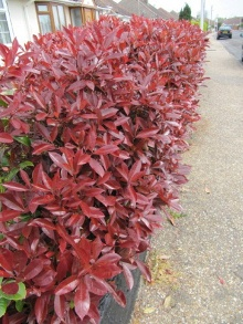 Photinia 'Red Robin' Hedge. Picture courtesy Leonora Enking. Visit her flickr photostream