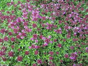 Creeping Red Thyme (Thymus praecox Coccineus) Picture courtesy Leonora Enking