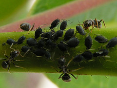 Aphids Picture courtesy Victoria Bensley
