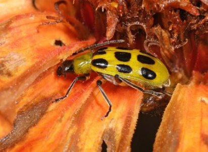 Spotted cucumber beetle. Picture courtesy Judy Gallager - see her flickr page