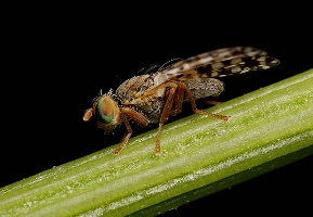 Meditteranean Fruit Fly. Picture courtey Ronald Beer