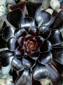 Aeonium 'Zwartkop' Picture courtesy Scott – check out his flickr pages
