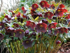 Helleborus x hybridus - Picture courtesy Peter Richardson